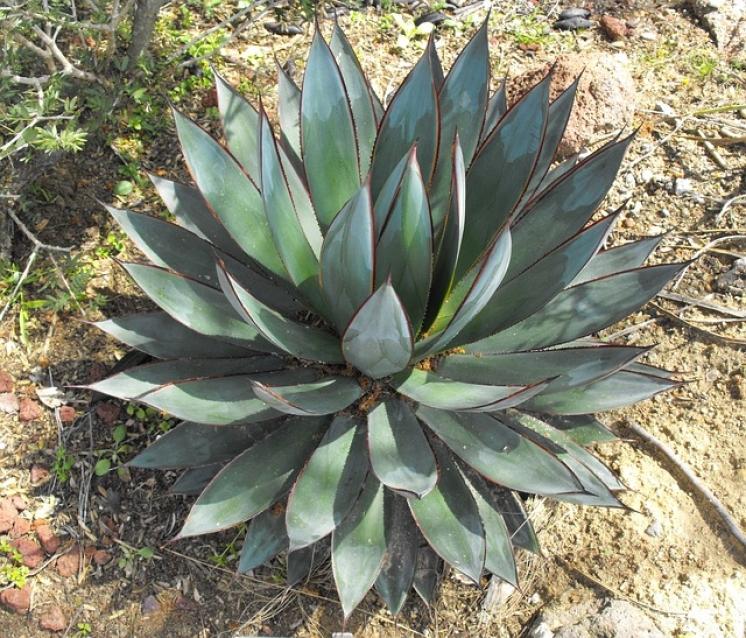 ¿Qué daños puede ocasionar el picudo negro de los agaves?